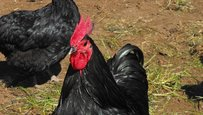 australorp_rooster